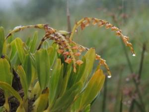 Bulbophyllum oreonastes 1