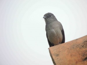 White-eyed slaty flycatcher (race torvensis)