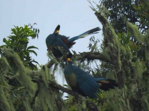 Great blue turacos