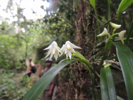 Polystachya aff. virginae could be a new species