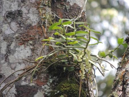 Ripidoglossum pulchellum