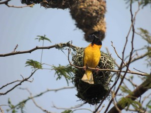 black headed weaver small