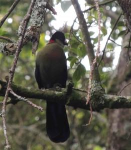 Rwenzori Turaco