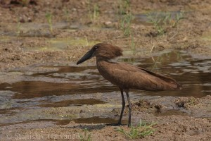 Hamerkop (Scopus umbretta). Picture by Stanislav Harvančík (http://ibc.lynxeds.com/)