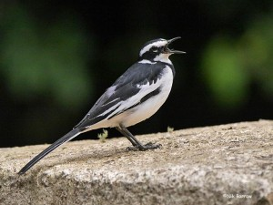 African pied wagtail, Motacilla aguimp (picture from Nik Borrow, The Internet Bird Collection)