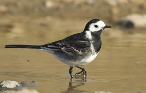 Pied wagtail, Motacilla alba (picture from Marco Valentini, The Internet Bird Collection)