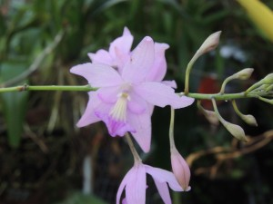 jan-pseudolaelia-corcovadensis