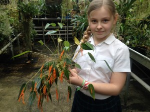 Amber with Pluerothallis truncata 1