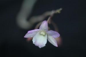 Dendrobium lankaviense