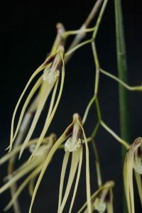 dendrobium teretefolium
