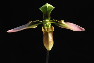 paph appletonianum flower